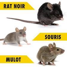 rat souris