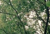 Nid de frelon asiatique dans un chêne